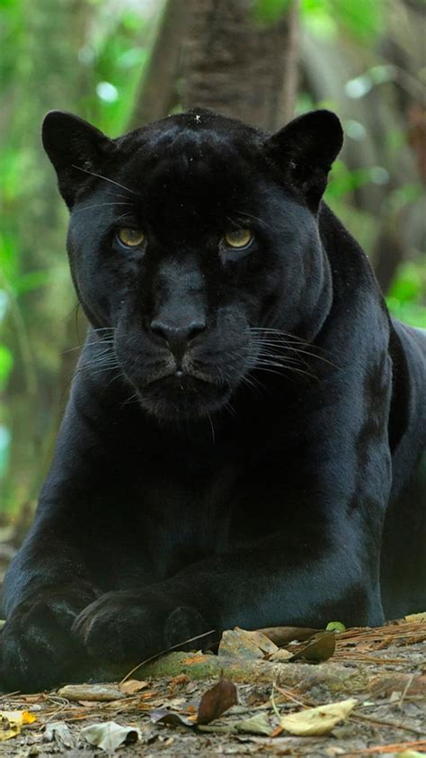 black leopard wallpaper  images