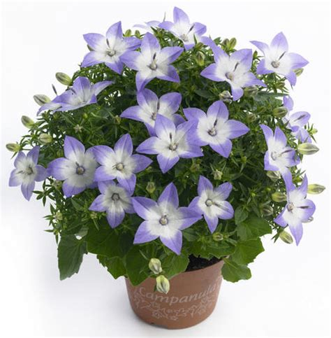 Mooie Planten Voor Binnen by Canula Starina Bicolor Een Mooie Klokjesbloem