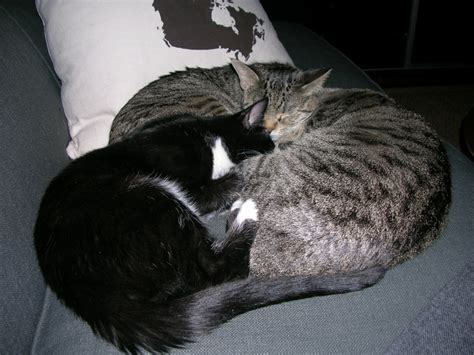 curled up on the couch our three cats curled up on the couch mary mabel and