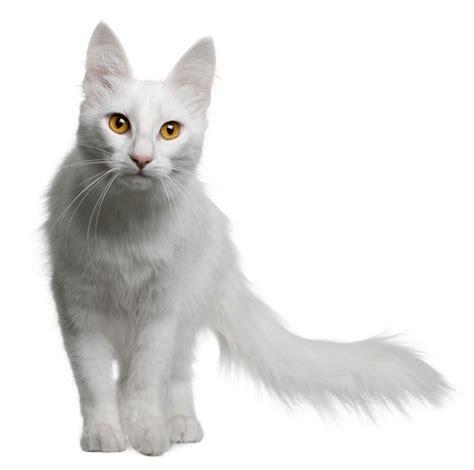 cats breeders turkish angora breeders australia turkish angora info