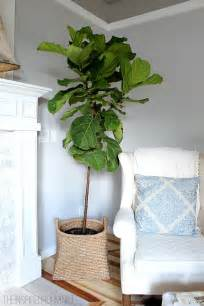 Silk Flowers Delivered - the tale of fiddle leaf fig fail confession the