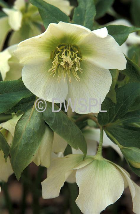 a royalty free image of helleborus orientalis winter or