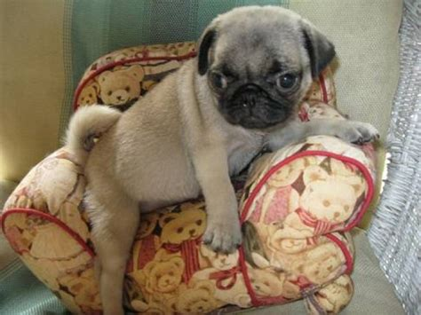 pug on chair gif we got a small chair for our baby pug imgur