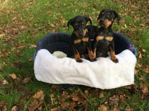manchester terrier puppies manchester terrier puppies bewdley worcestershire pets4homes