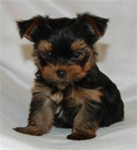 puppy st joseph mo puppy breeders st joseph mo