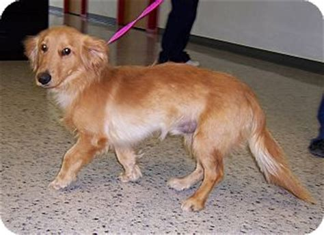 golden retriever rescue cincinnati ohio obie adopted cincinnati oh golden retriever dachshund mix