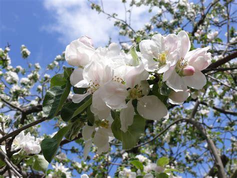 flowers for tree file apple priapple tree flower jpg wikimedia commons