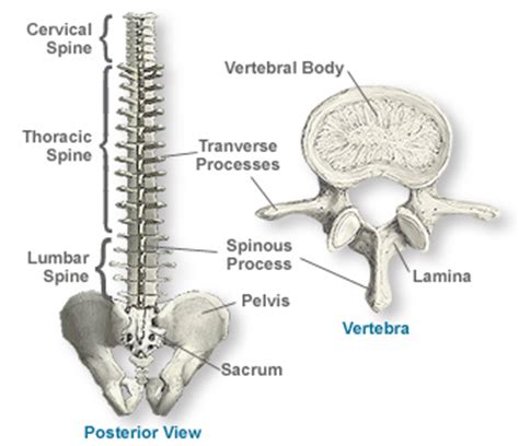 sections of spine anatomy of the spine southern california orthopedic