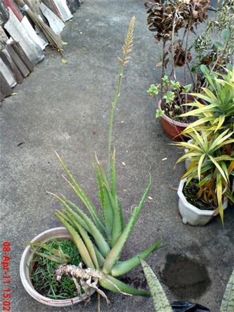 Herbal Lidah Buaya Aloe Vera medicinal plant aloe vera lidah buaya