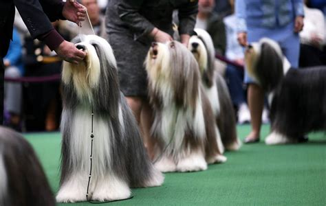 puppy shows 2013 westminster kennel club show framework photos and visual