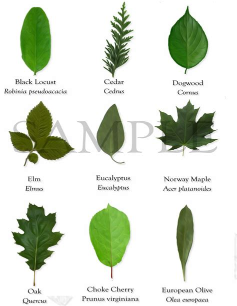 tree leaves names and pictures theleaf co