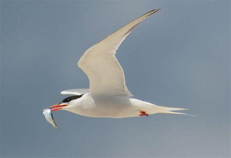 byrd tern common tern