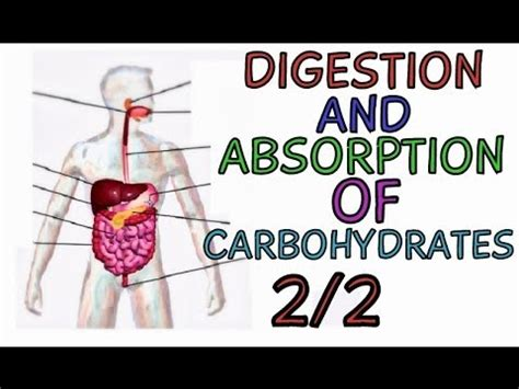 carbohydrates for 7 month digestion and absorption of carbohydrates part 2 2