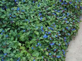 Plumbago ground cover home design ideas