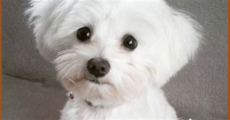 the puppy cut maltese care maltese puppy cut info