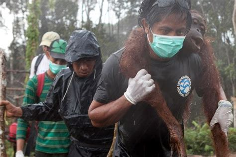 news  orangutans images  pinterest