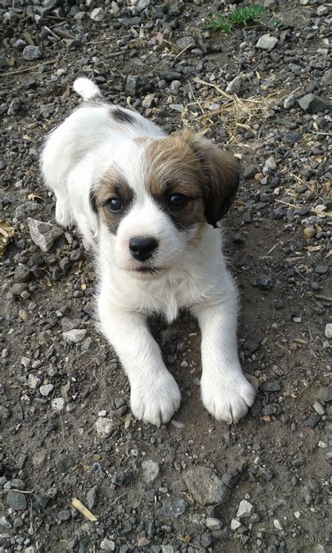 beagle cross shih tzu gorgeous shih tzu cross beagle puppy coventry west midlands pets4homes