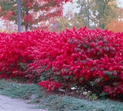 colorful shrubs 1000 ideas about shrubs on david