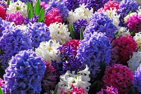fiori giacinto piante e fiori giacinto hyacinthus