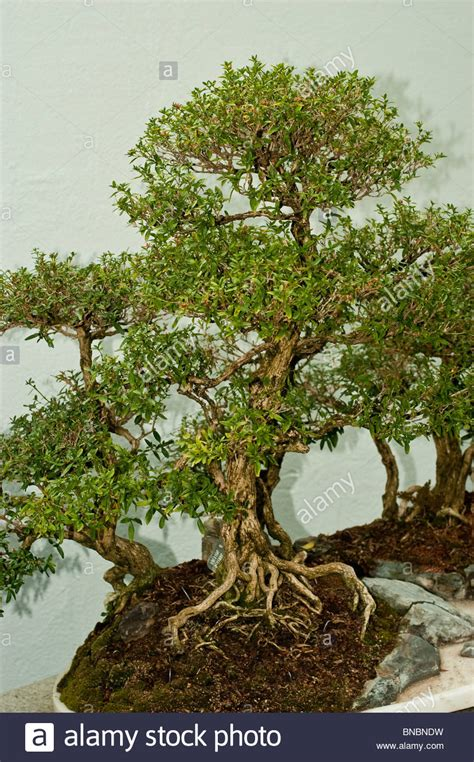 Bonsai Serisa 10759 Limited serissa japonica snow bonsai tree in montreal