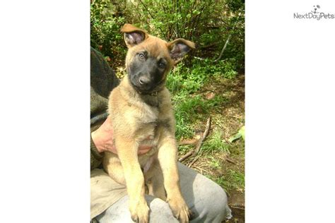 belgian malinois puppies for sale near me belgian malinois for sale for 1 200 near seattle tacoma washington aeb094fc 95f1