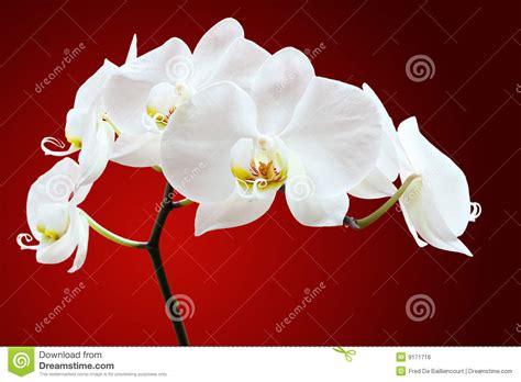 il fiore bianco fiore bianco dell orchidea immagine stock libera da