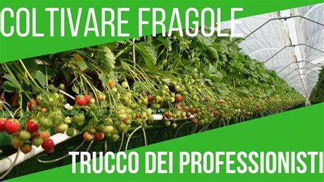 Coltivare Fragole Sul Balcone by Coltivare Le Fragole Sul Balcone Tecnica Moderna Orto