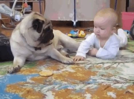 pug vs baby pug vs baby the ultimate battle as easy stealing from a baby pugs not