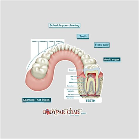 Medium Tooth Replika Cc tooth cross section labeled bodypartchart official site