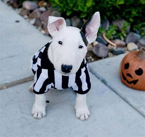bull terrier puppies ohio 147 best images about bull terrier puppies on white bull terrier