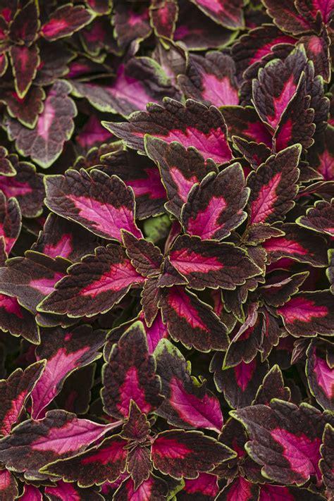 sun foliage plants colorblaze 174 velveteen 174 coleus solenostemon