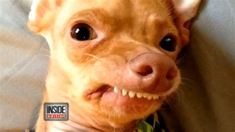 puppy overbite tuna once abandoned with severe overbite turns into viral sensation the