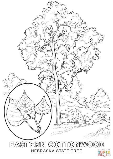 nebraska state tree coloring page free printable