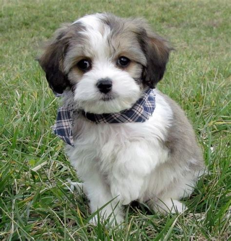 cavachon rescue dogs beautiful ux ui designer and spaniels on pinterest
