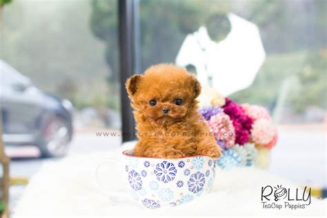rolly teacup puppies for sale zoey poodle f rolly teacup puppies
