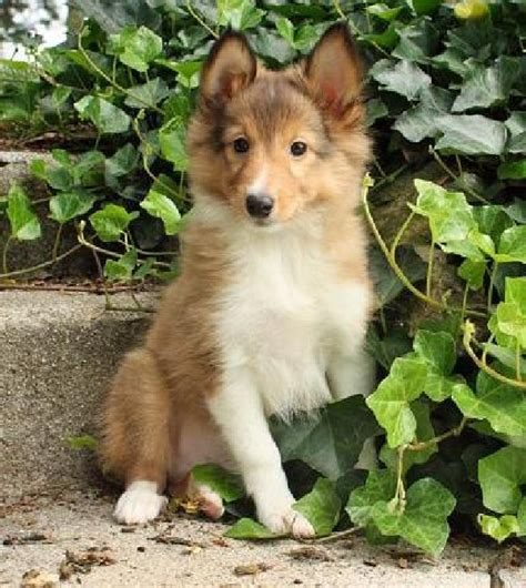 sheltie dogs dogs pets shetland sheepdog sheltie puppies