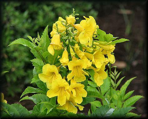 yellow trumpet flower shrub yellow trumpet flower flickr photo