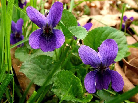 fiore viola nome violetta l olio essenziale della sensibilit 224 impronta unika
