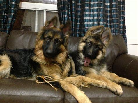 king german shepherd puppies benny and king haired german shepherd puppies