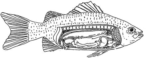 fish diagram coloring page fish internal anatomy coloring page biology pinterest