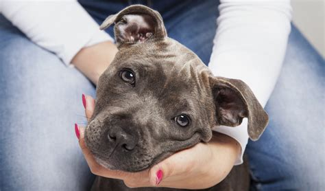how to pitbull puppies vet s tips on how to raise a pit bull puppy healthily