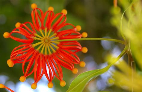 Natural Mosquito Repellents stenocarpus sinuatus or firewheel tree is a popular