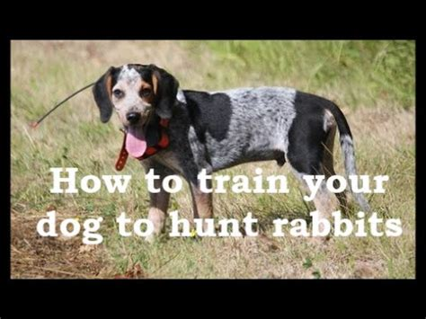how to my to hunt beagle boys rabbit how to your beagle puppy to hunt rabbits