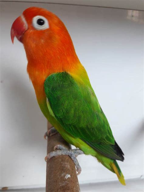 lovebird colors mengenal jenis lovebird biola adalah binatang peliharaan