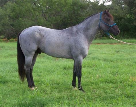 blue horses for sale in the 25 best paint horses for sale ideas on