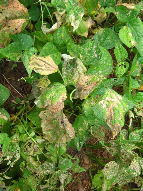 Bean Diseases Pictures