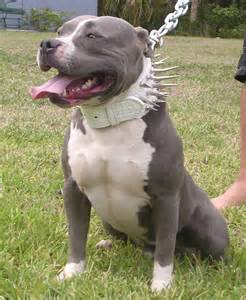 chagne color pitbull american pit bull terrier breed picture splendiid