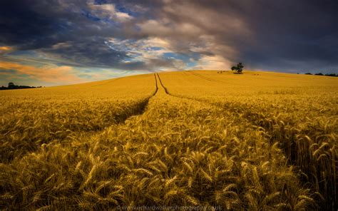 beautiful image before the harvest beautiful crop field ready for the