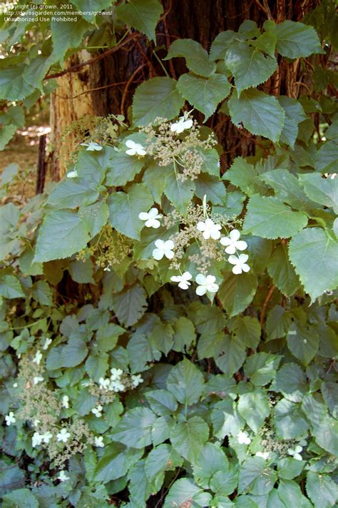 asian climbing plant plantfiles pictures japanese climbing hydrangea