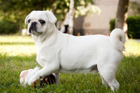 all about pug 10 breeds ideal for apartment all about dogs